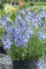 Picture of Veronica austriaca 'Ionian Skies'