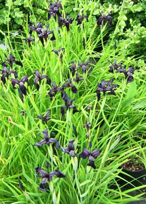 Picture of Iris chrysographes black form