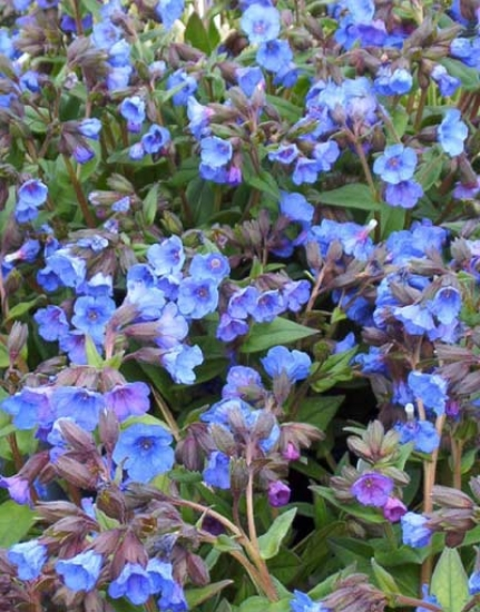 Picture of Pulmonaria 'Blue Ensign'