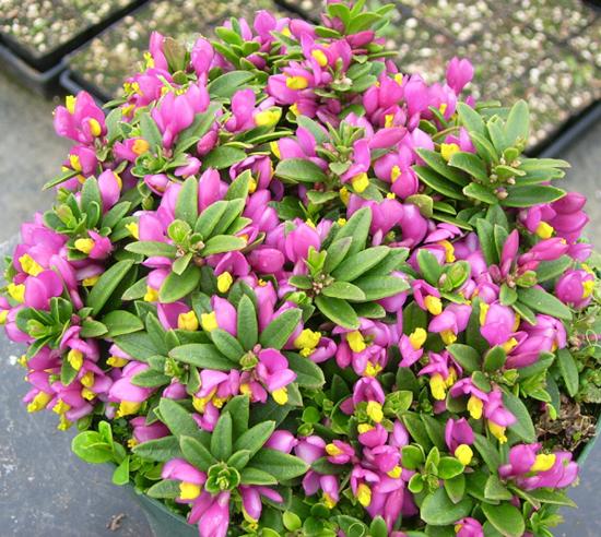 Picture of Polygala chamaebuxus var. grandiflora
