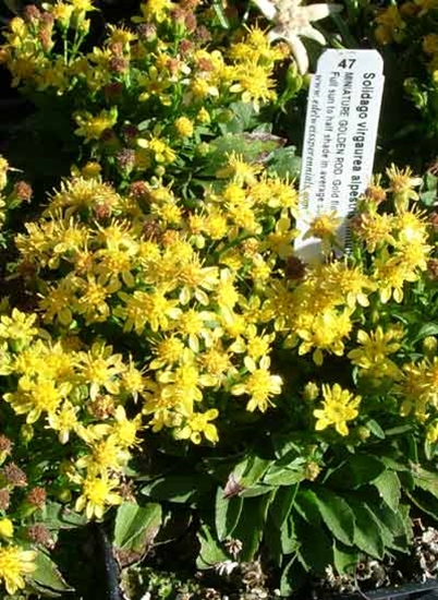 Picture of Solidago virgaurea ssp. alpestris var. minutissima