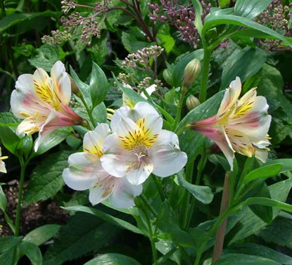 Picture of Alstroemeria Hybrid cream-white tall