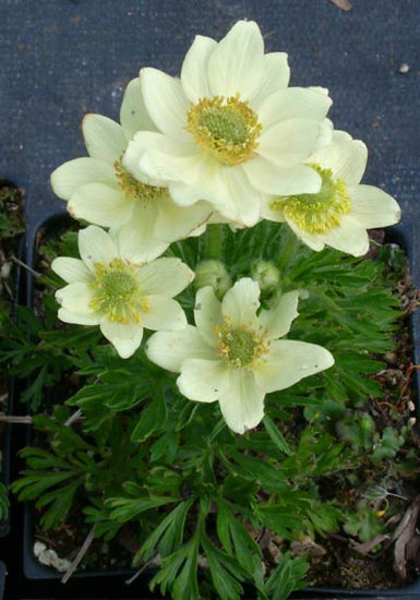 Picture of Anemone multifida