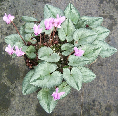 Picture of Cyclamen hederifolium Mostly Silver Leafed