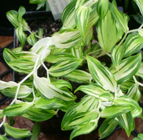 Picture of Disporum sessile 'Goldbug' [Chigger]