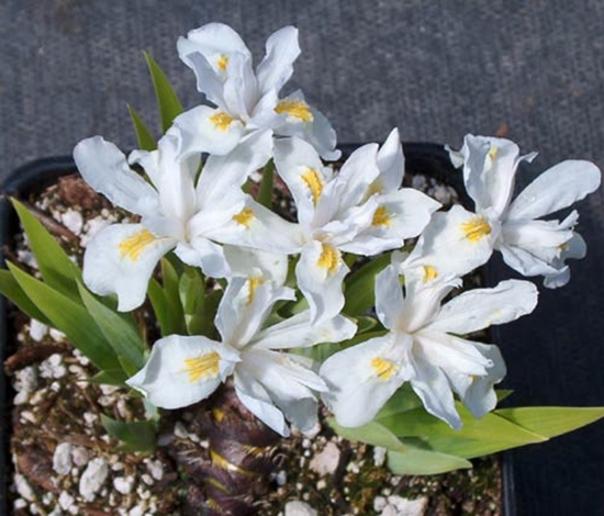 Picture of Iris cristata 'Alba'