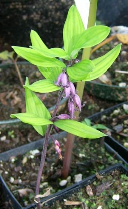 Picture of Polygonatum prattii