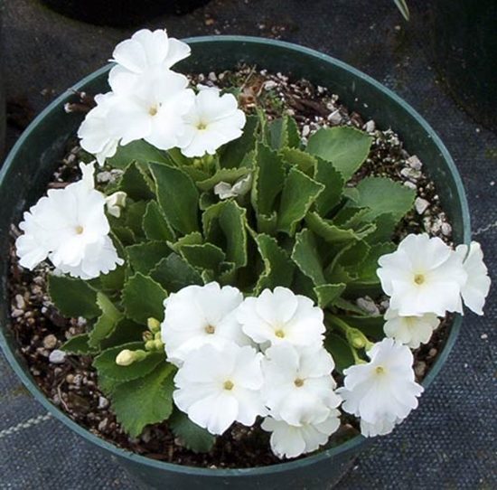 Picture of Primula 'Aire Mist'