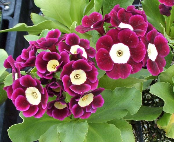 Picture of Primula auricula 'Argus'