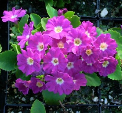 Picture of Primula 'Boothman'