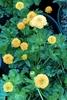 Picture of Ranunculus constantiopolitanus 'Plenus'