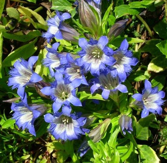 Picture of Gentiana paradoxa-Hybr. 'Blauer Herold'