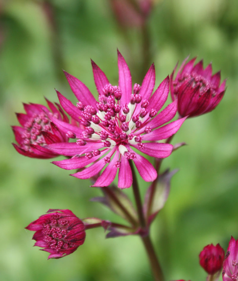 Picture of Astrantia major 'Ruby Wedding'