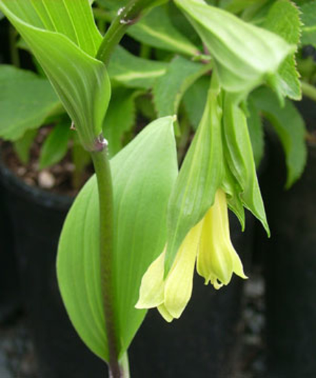 Picture of Disporum flavens