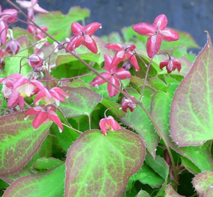 Picture of Epimedium x rubrum 'Coccineum'