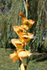 Picture of Gladiolus 'Boone'