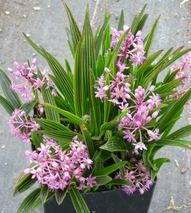 Picture of Ledebouria cooperi