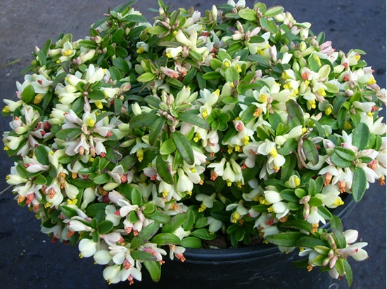 Picture of Polygala chamaebuxus