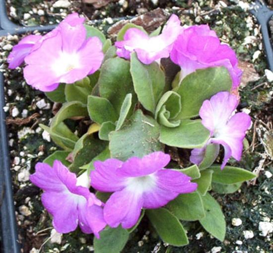 Picture of Primula allionii 'Bloodflake'