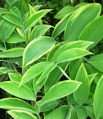Picture of Uvularia sessilifolia 'Cobblewood Gold'