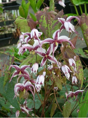 Picture of Epimedium species ex. Sichuan