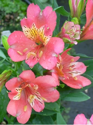 Picture of Alstroemeria 'Pacific Sunset' hot pink