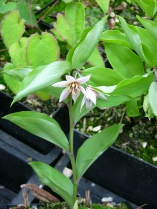 Picture of Disporum smilacinum 'Pink Star'