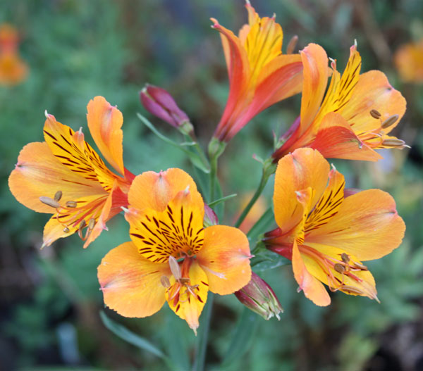 Picture of Alstroemeria 'Third Harmonic'