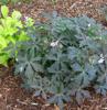 Picture of Geranium maculatum 'Espresso'
