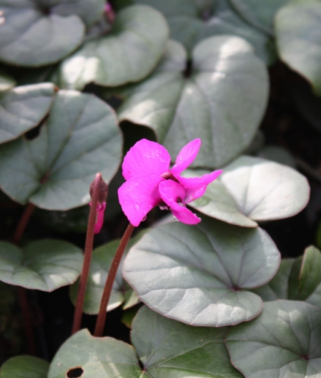 Picture of Cyclamen coum magenta (green leaf)