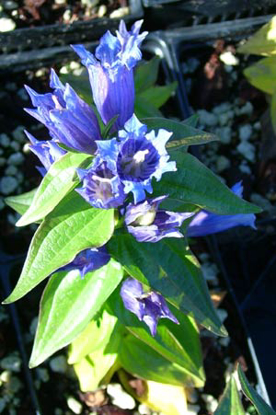 Picture of Gentiana asclepiadea