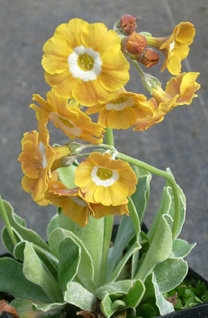 Picture of Primula auricula 'Old Mustard'