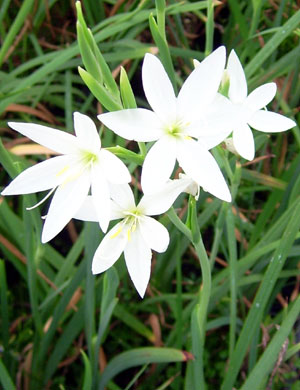 Picture of Schizostylis coccinea 'Alba' larger flower form