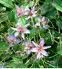 Picture of Tricyrtis formosana glandosa 'Blu-Shing Toad'