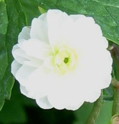 Picture of Ranunculus aconitifolius 'Flore Pleno'