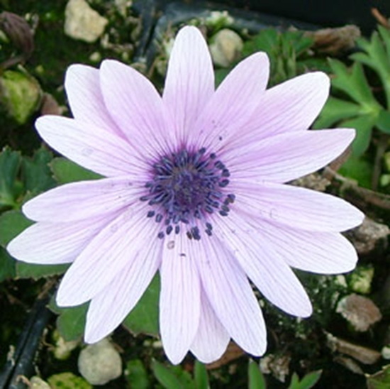 Picture of Anemone hortensis Lavender-Pink