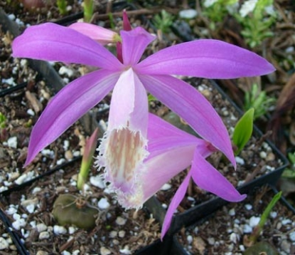 Picture of Pleione formosana