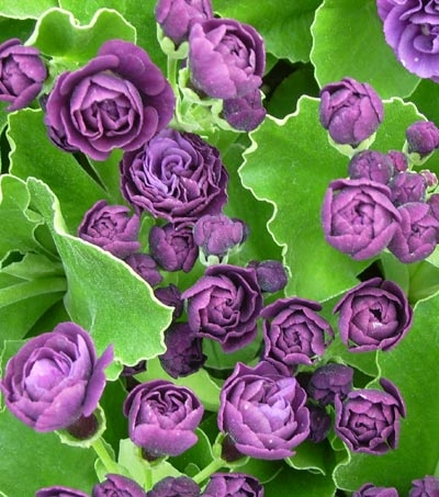 Picture of Primula auricula 'Fred Booley'