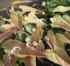 Picture of Epimedium chlorandrum