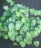 Picture of Epimedium pauciflorum