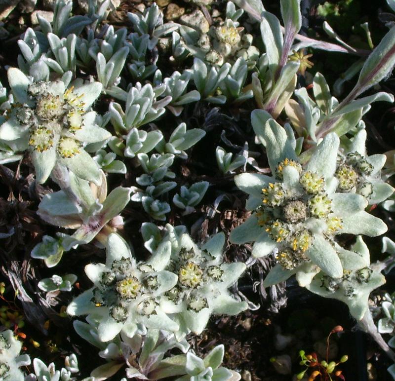 Picture of Leontopodium nivale Tibet