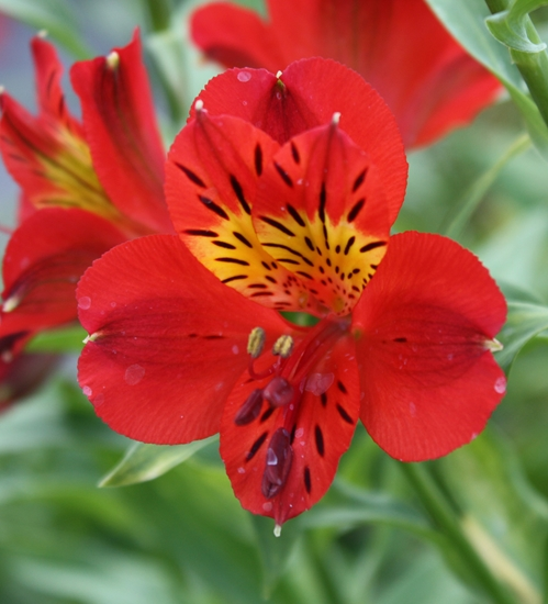 Picture of Alstroemeria 'Red Sensation'