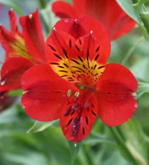 Picture of Alstroemeria 'Red Sensation'
