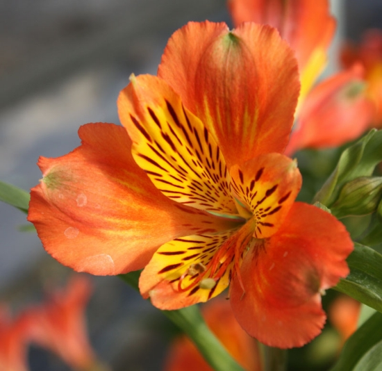 Picture of Alstroemeria 'Inca Tropic'