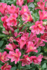 Picture of Alstroemeria 'Inca Glow'