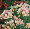 Picture of Alstroemeria 'Inca Ice'
