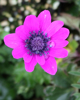 Picture of Anemone hortensis Magenta