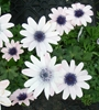 Picture of Anemone hortensis 'Salome'