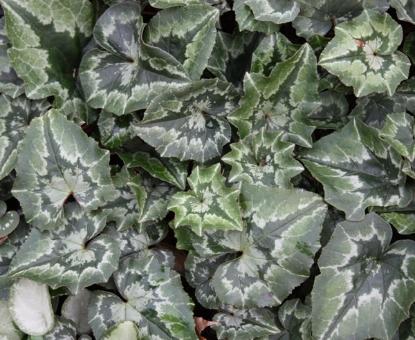 Picture of Cyclamen hederifolium var. confusum