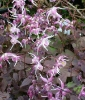 Picture of Epimedium grandiflorum 'Dark Beauty'